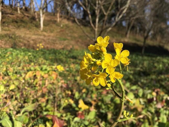 米沢の森 おじゅうはっちゃ 桜房 菜の花