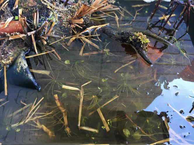ガガブタ 殖芽 冬 水生植物
