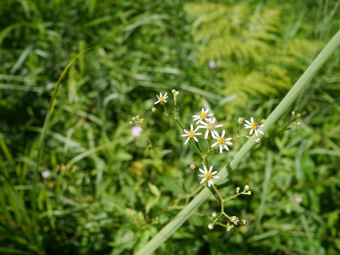 千葉県 野草 シラヤマギク