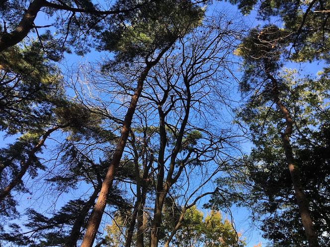 国分寺中央公園 散歩 赤松 柿
