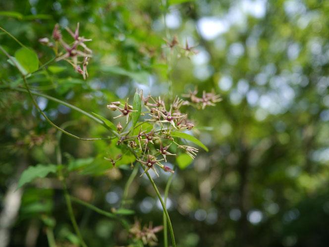 千葉県 野草 コバノカモメヅル