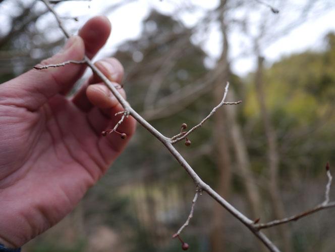 風呂の前 カタクリ アブラチャン 冬芽