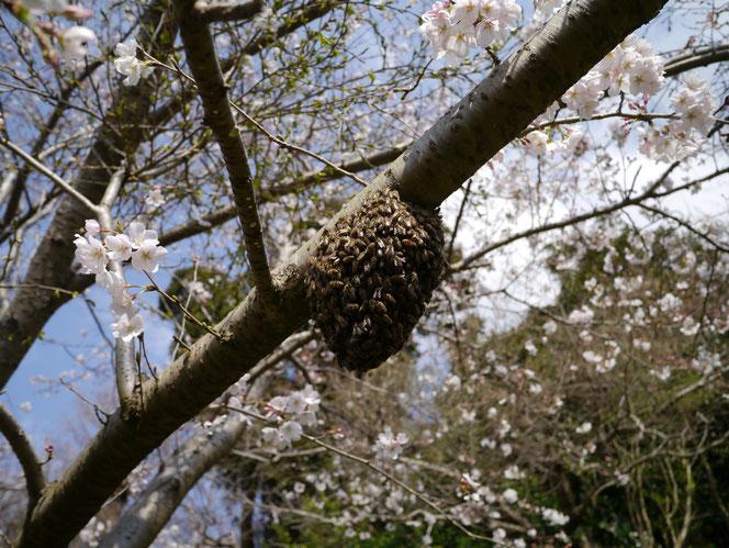 ニホンミツバチ 分蜂