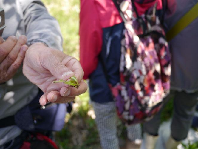 ミドリシジミ 幼虫 多古光湿原