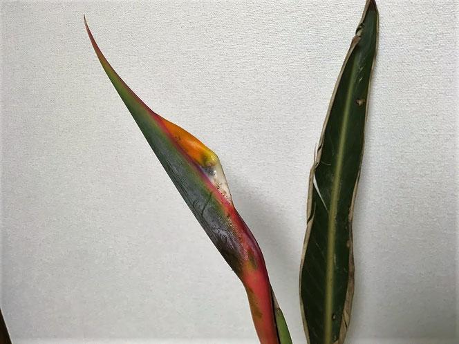ストレリチア 極楽長花