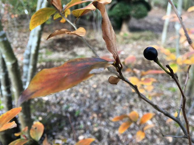秋 木の実 山野草 里山 ヤマコウバシ 紅葉