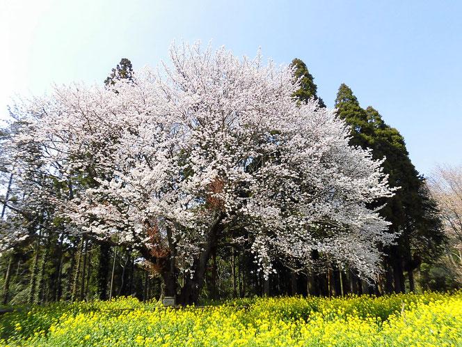 大俵 桜 ヤマザクラ