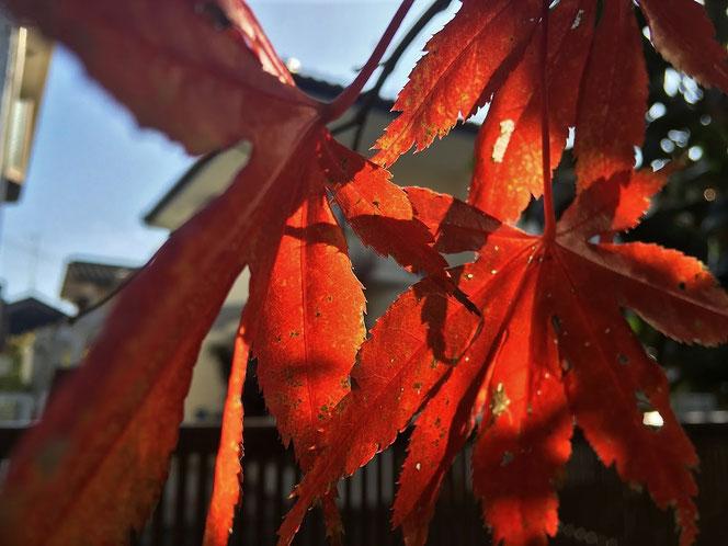 オオモミジ 紅葉