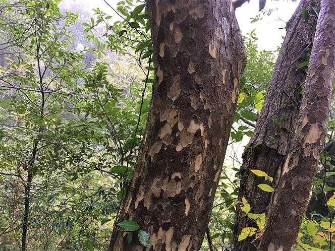 カゴノキ 鹿子の木 樹木 千葉