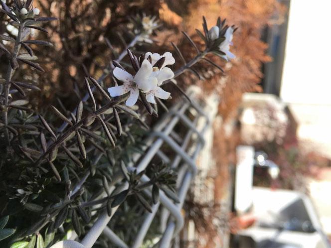 ローズマリー 白花 立ち 庭
