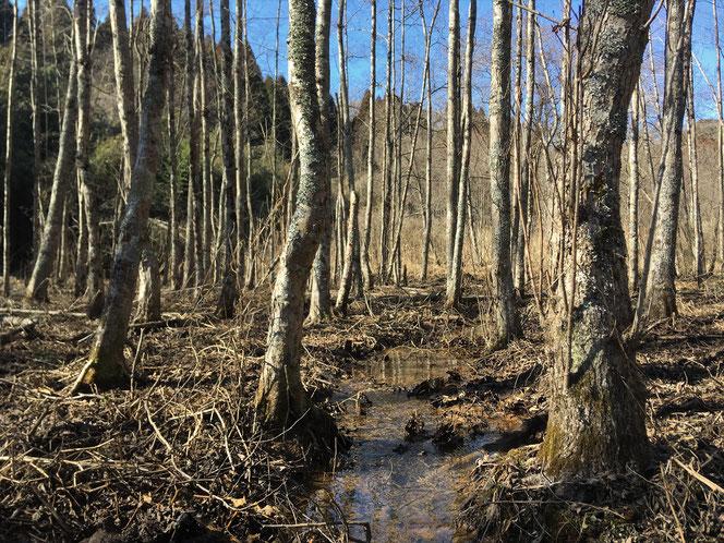 米沢の森 湿地 ハンノキ