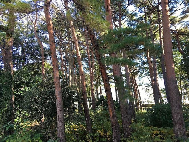 国分寺中央公園 赤松 アカマツ