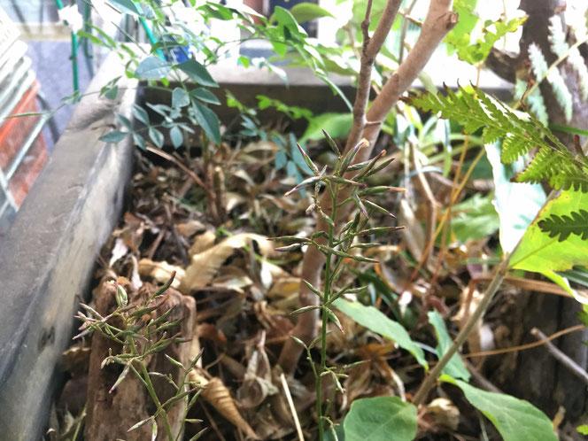 キッコウハグマ 庭 野草