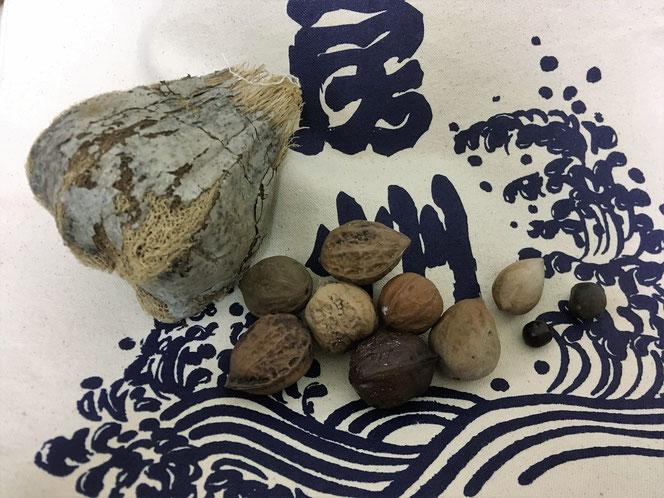 ビーチコーミング 種 種子 クルミ ゴバンノアシ 千葉