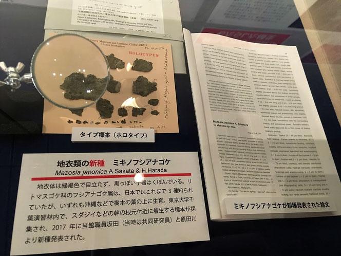 ミキノフシアナゴケ 蘚苔類 新種 千葉