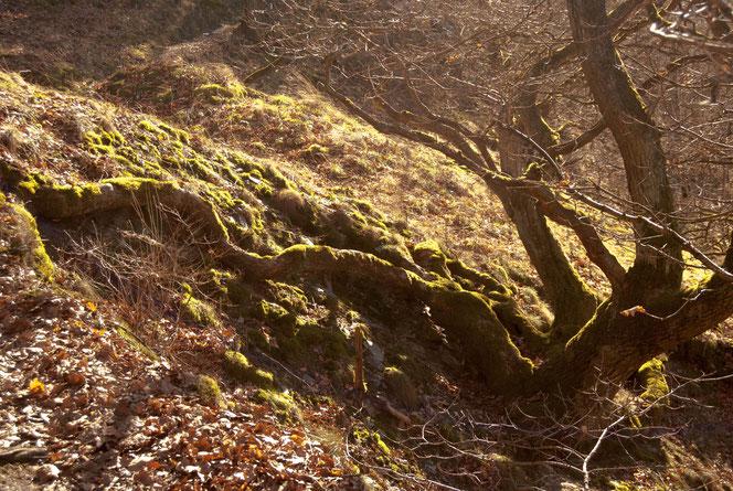 Das Moos auf den Wurzeln  der Bäume leuchtet in der Sonne