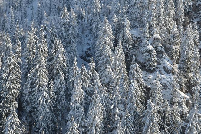 Tannen Im Schnee Auf Teufel Komm Raus