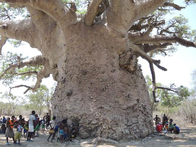 le marabout Monsieur Boua utilise les fruits de cet arbre sacré, le baobab, comme ingrédiant de ses potions.
