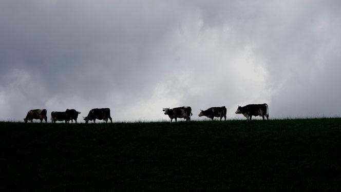 Kühe in der Gemeinde Hinterzarten in der Urlaubsregion Hochschwarzwald
