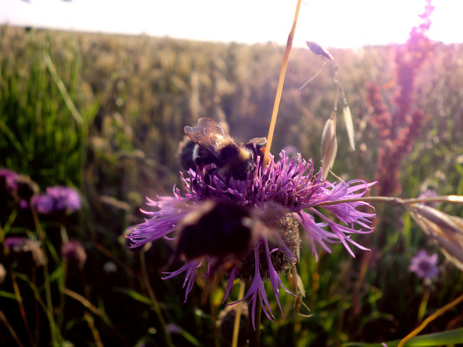 Hummel Distel Frühling blühen Blüte lila Wiese Geht es dir gut Frage Höflichkeit Interesse ehrlich Ehrlichkeit
