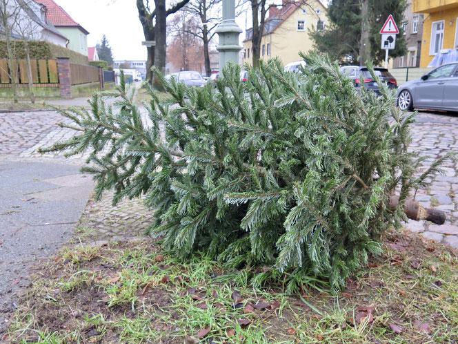Viele Weihnachtsbäume landen gerade am Straßenrand. Morgen und nächsten Samstag sammelt die BSR sie ein.