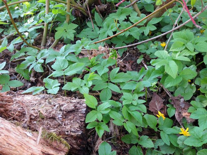Giersch und Scharbockskraut (gelbe Blüten) unter den Wildsträuchern in meinem Naturgarten.