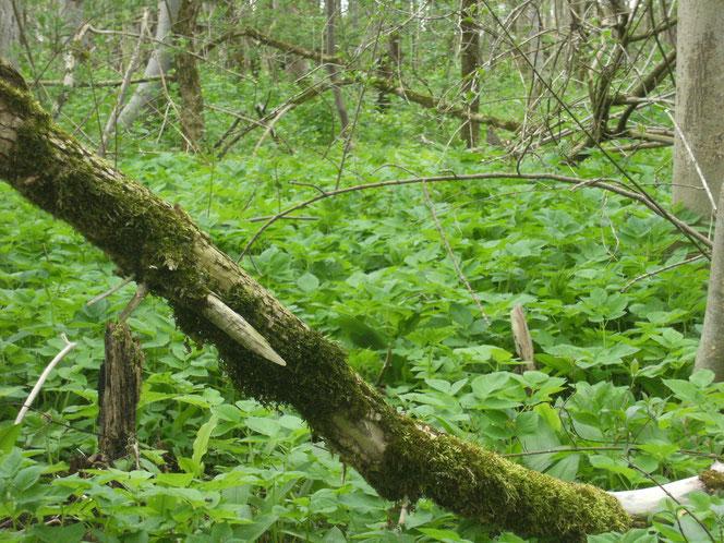 Und nochmal Giersch satt, diesmal im Verbund mit dem nicht minder schmackhaften Bärlauch im urtümlichen Laubwald am Ufer der Isar bei Lenggries.
