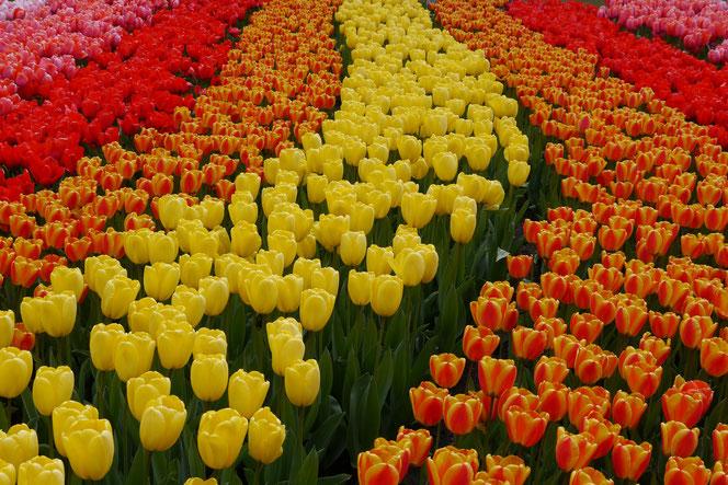 Tulpenbeete auf dem Keukenhof in Holland Sehenswürdigkeit  Blumenfestival Keukenhof Holland Frühlingsblüten