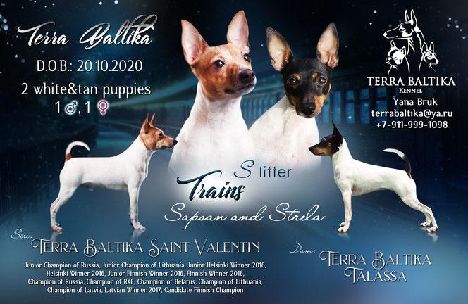 купить щенка американского той фокстерьера, американский той фокстерьер питомник в спб, toy fox terrier, Terra Baltika, terra baltika, Терра Балтика, терра балтика