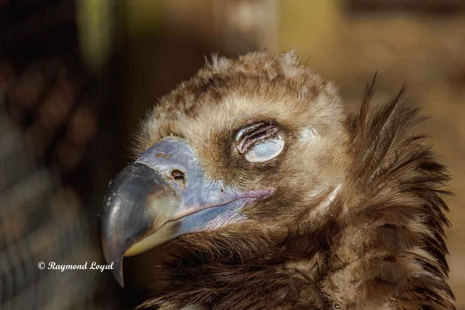 monk vulture