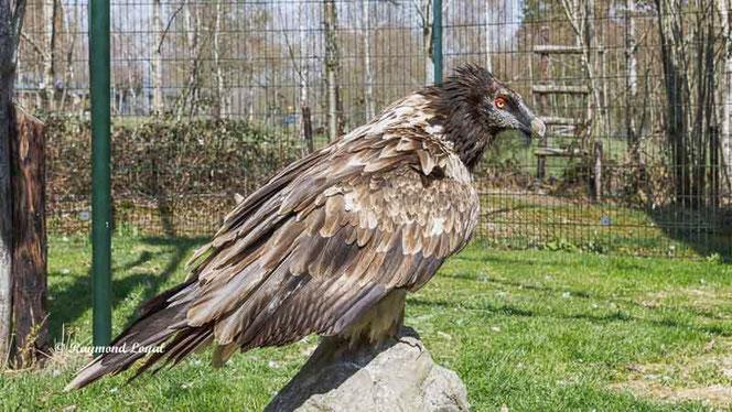 lammergeier bearded vulture