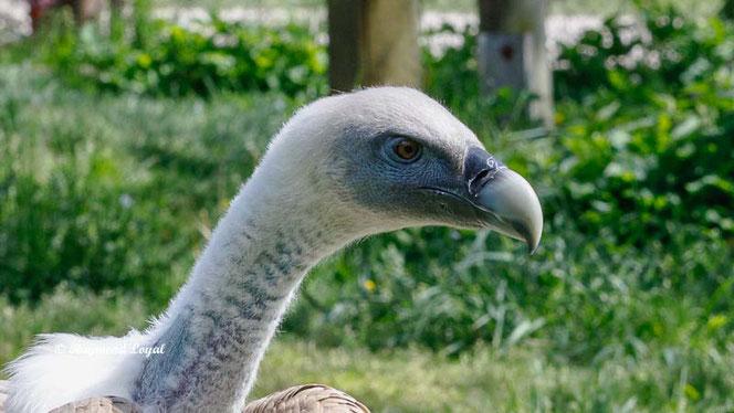 griffon vulture neck and head portrait