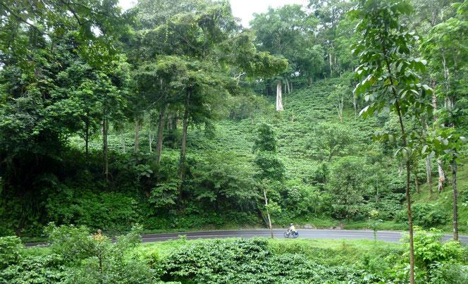 route dans les plantations de café