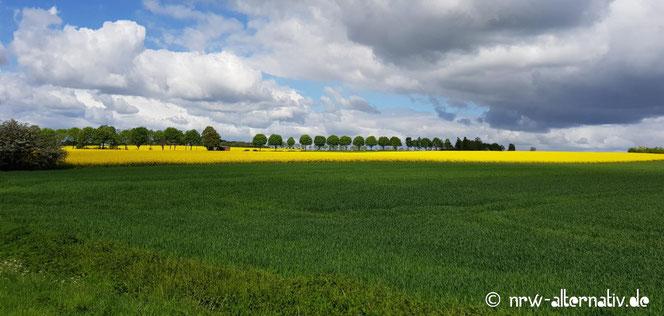 Rapsfelder, Wallhecken und Bäume prägen die Gegend um Billerbeck, die leicht erwandert werden kann.