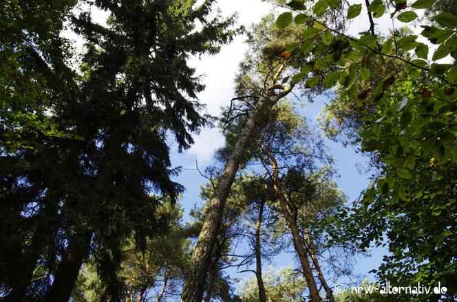 Baumwipfel und Wolen auf dem Tecklenburger Bergpfad
