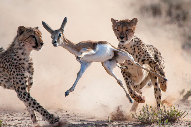 Zwei Geparden erlegen einen jungen Springbock