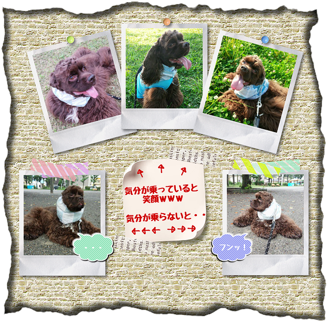 お世話している愛犬画像。チョコ太ちゃん。