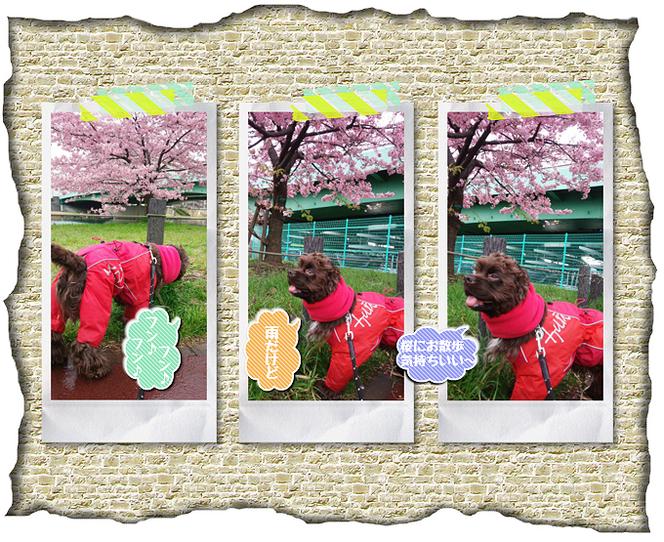 桜とお世話しているチョコ太ちゃん。