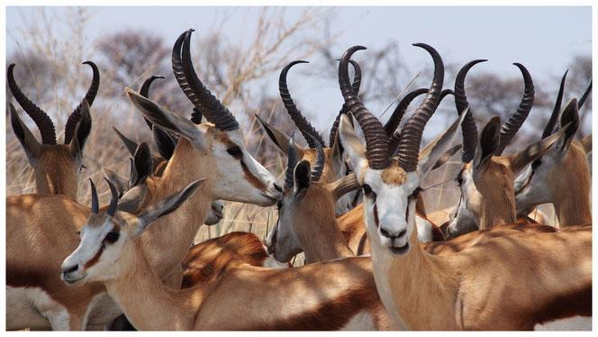 Springbok de Namibie