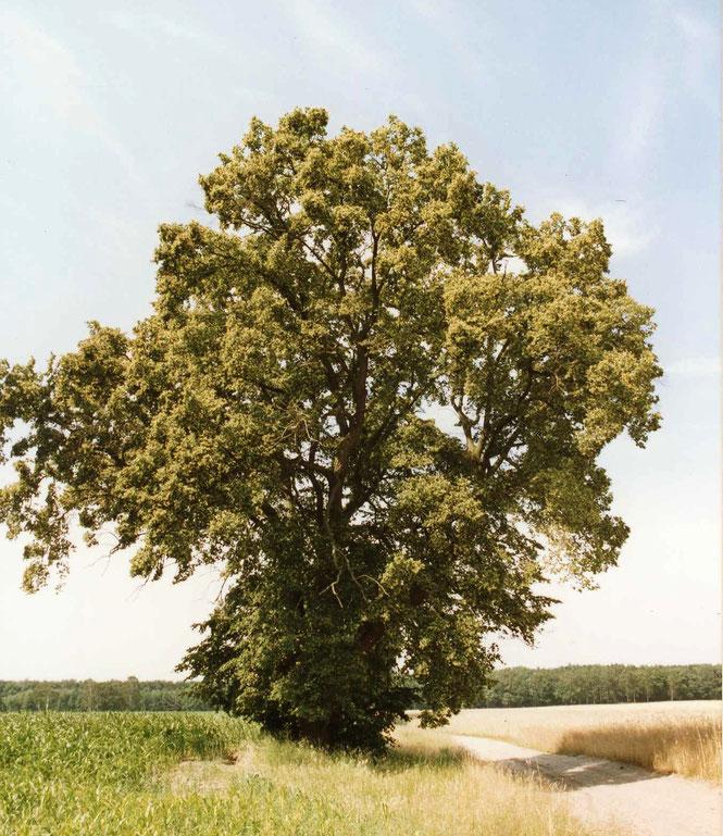 In Vollblüte stehende Winter-Linde als markanter Solitär-Baum im Biosphärenreservat Schorfheide Chorin. Einen solchen Baum im Sommer zu erleben ist ein unvergessliches Erlebnis für die Sinne, Augen, Nase und Ohren.