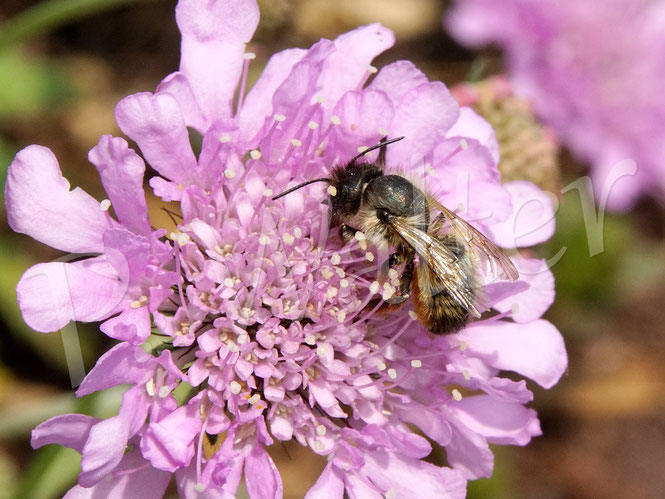 Bild: Mauerbienenweibchen, Osmia spec., an der Skabiose