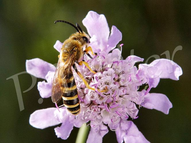 Bild: Männchen der Gelbbindigen Furchenbiene, Halictus scabiosae, an einer Skabiose