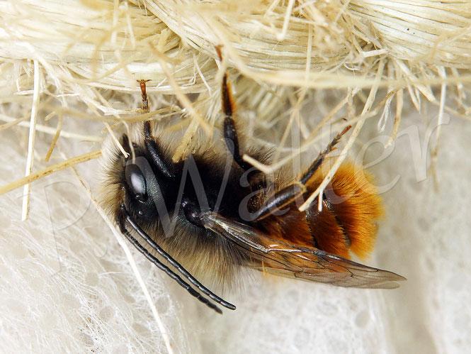 08.03.2019 : Männchen Nr.4 der Gehörnten Mauerbiene verbringt die Zeit ebenfalls am umwickelten Bienenbaum (an seinem Fuß blühen Krokusse)