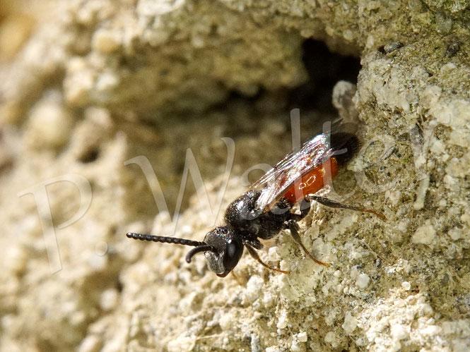 Bild: Blutbiene