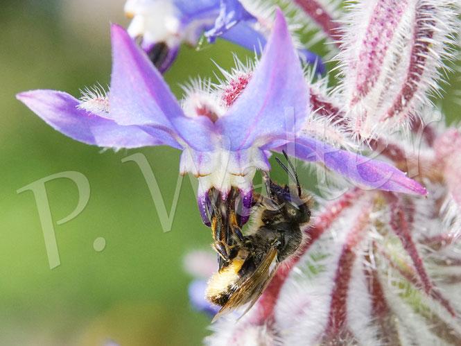 Bild: ein Mauerbienenweibchen, Rostrote, Osmia bicornis, trinkt Nektar an einer Borretschblüte