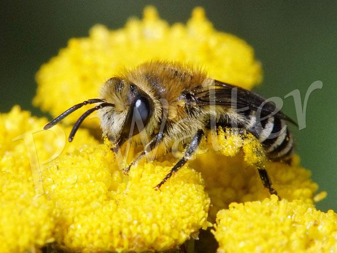 Bild: ein Seidenbienenweibchen, Colletes spec., am Rainfarn