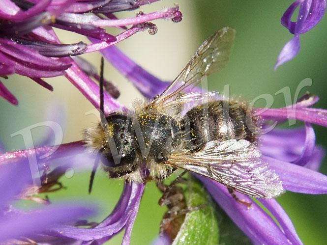 Bild: Mauerbiene, Osmia spec., Männchen, an der Bergflockenblume