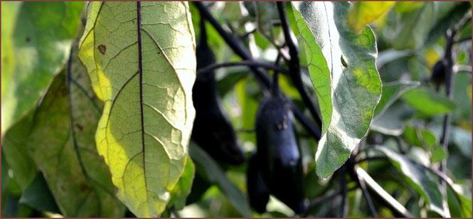 無農薬野菜 茄子 スリーエフ農法