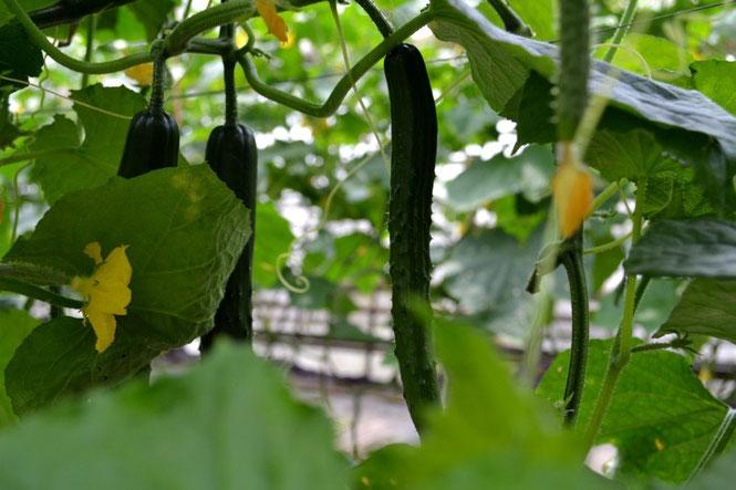 無農薬野菜 きゅうり