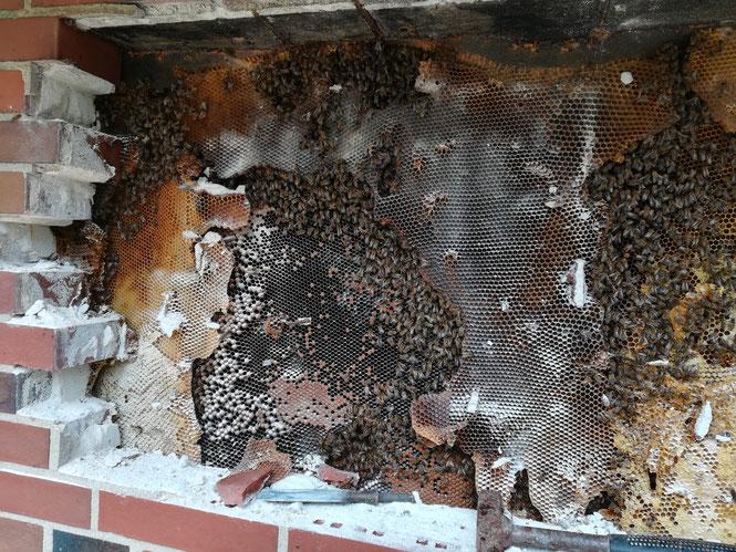 Bienennest zwischen 2 Mauerwänden